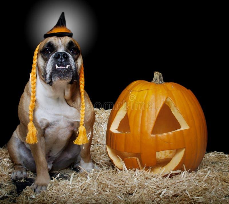 Bulldogg som kläs som en häxastående royaltyfri foto