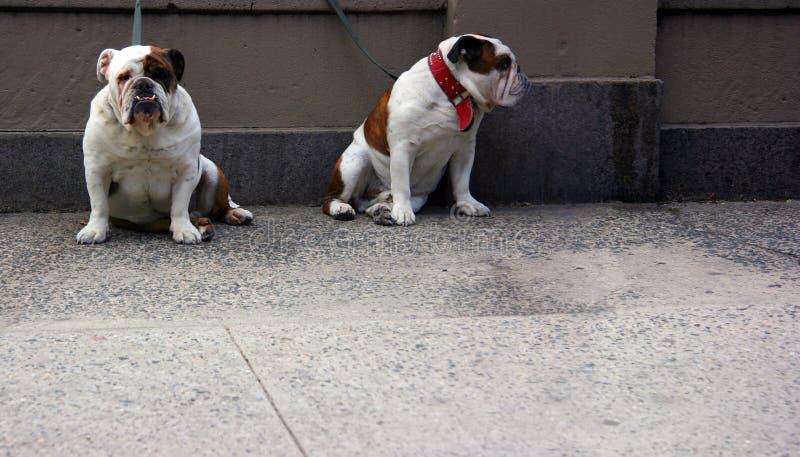 bulldoggar front två royaltyfri fotografi