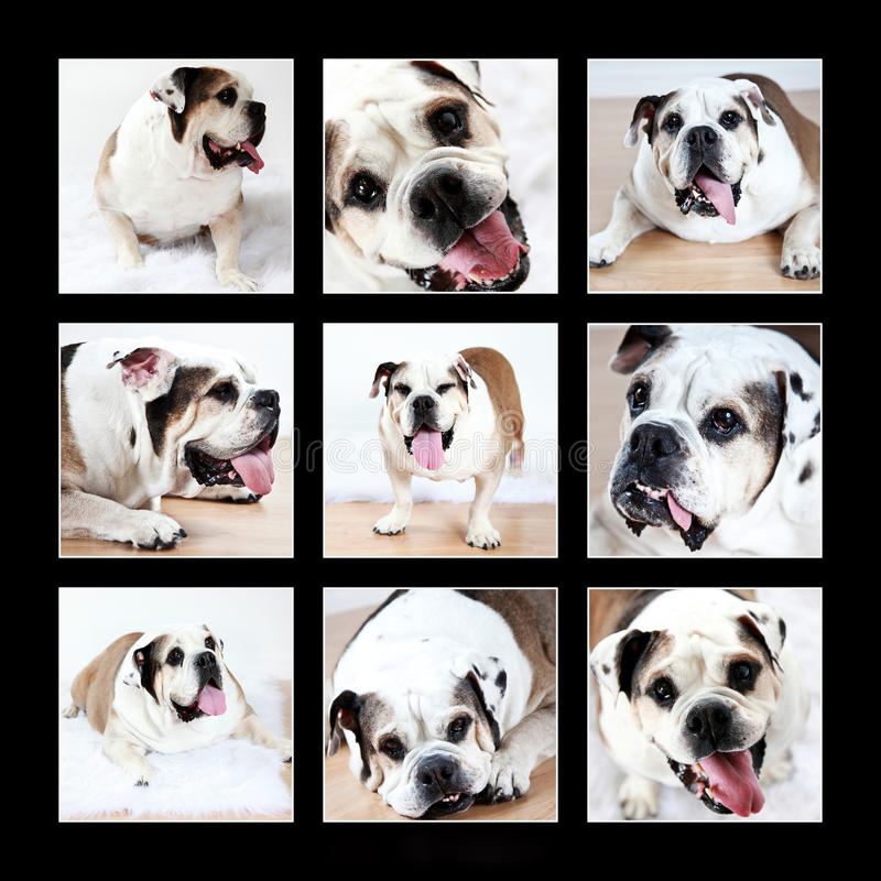 bulldoggcollage arkivfoto