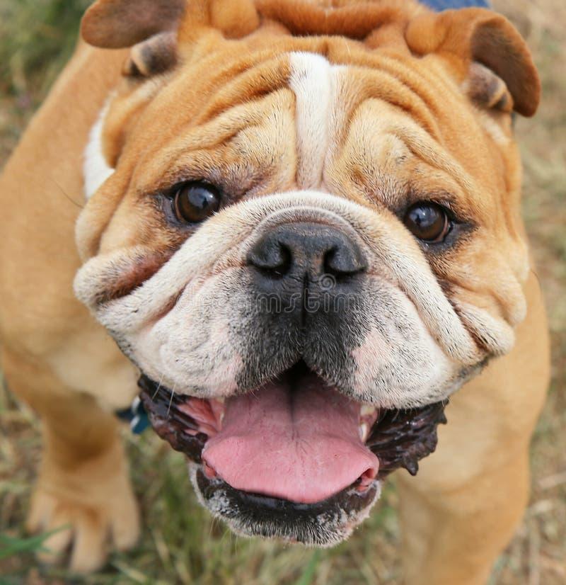 Bulldogge lizenzfreie stockbilder