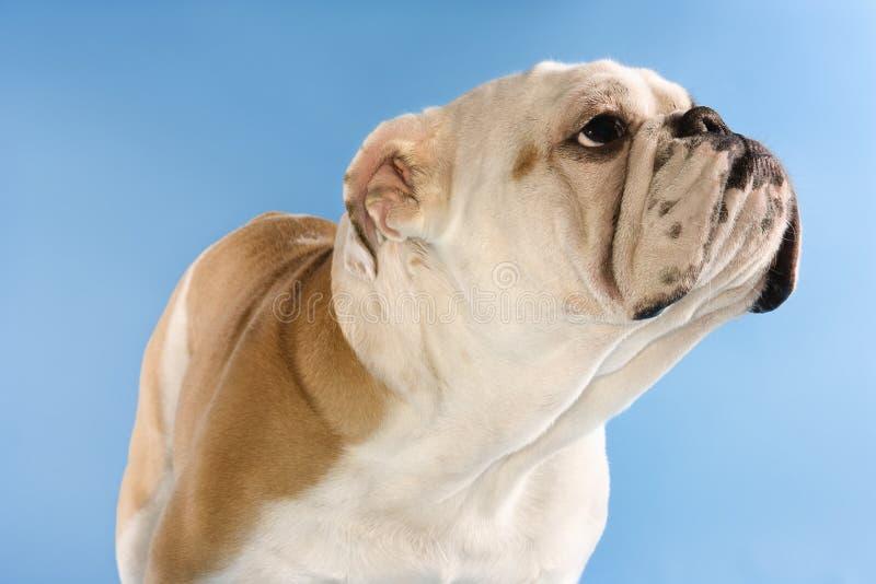 Bulldogge auf blauem Hintergrund. lizenzfreies stockfoto