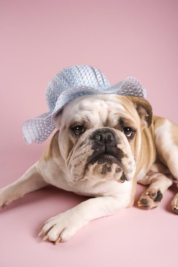 Bulldogge auf rosafarbenem Hintergrund. lizenzfreie stockfotografie