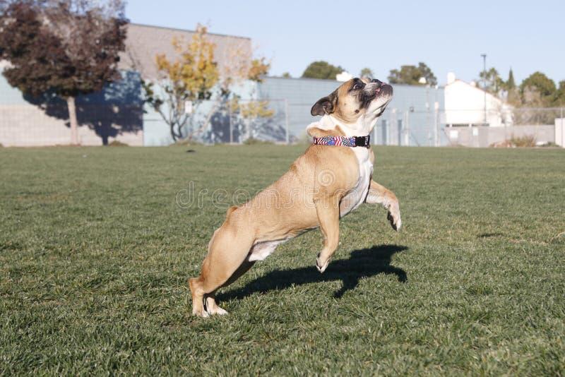 Bulldogge, die beginnt zu springen stockfotos