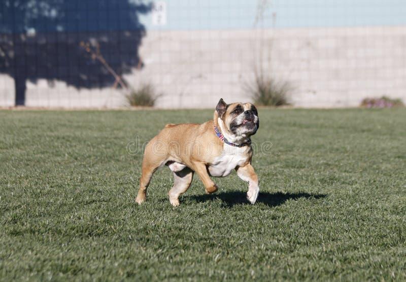 Bulldogge, die ein Spielzeug mit seiner Zunge heraus nachläuft stockbilder
