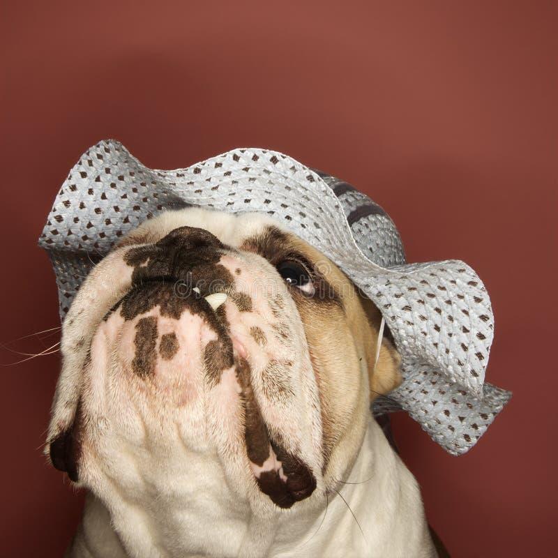 Bulldogge, die eine Mütze trägt. stockfotos