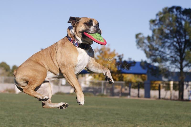 Bulldogge im mitten in der Luft mit Scheibe lizenzfreies stockfoto