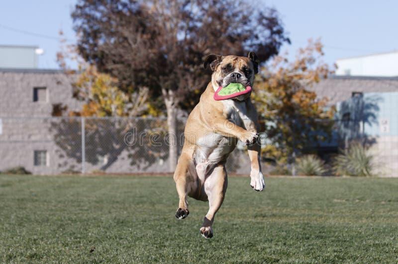 Bulldogge, nachdem seine Scheibe am Park gefangen worden ist lizenzfreie stockfotos