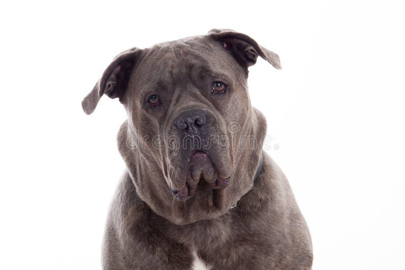 Bulldogge schaut stockfoto