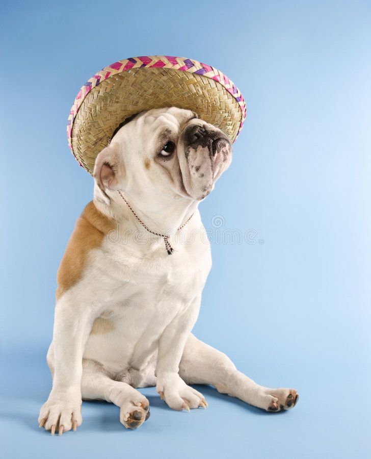 Bulldogge tragender Sombrero. stockbild