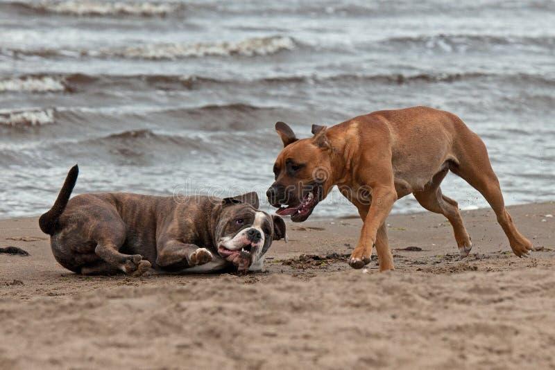 Bulldogge und Terrier trafen 3 stockfoto