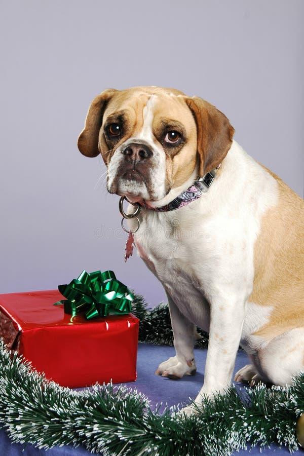 Bulldogge-Weihnachten lizenzfreie stockfotografie