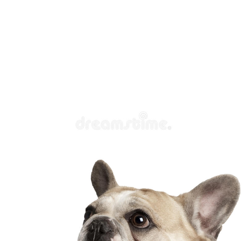 bulldoggen kantjusterade fransmannen skjuten studiosikt royaltyfri foto