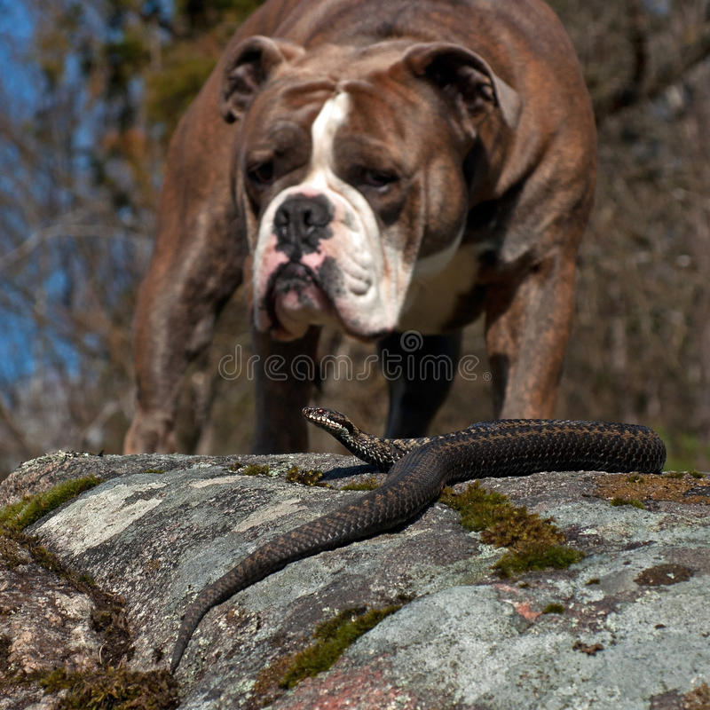 Bulldoggen möter en Viperaberus royaltyfri bild