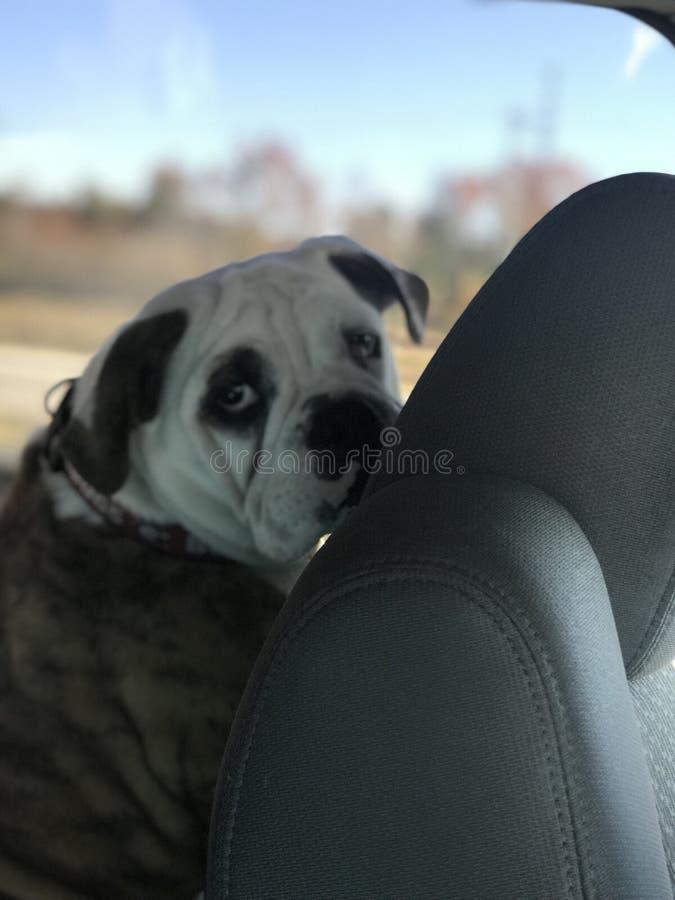 Bulldoggenautofahrten lizenzfreies stockfoto