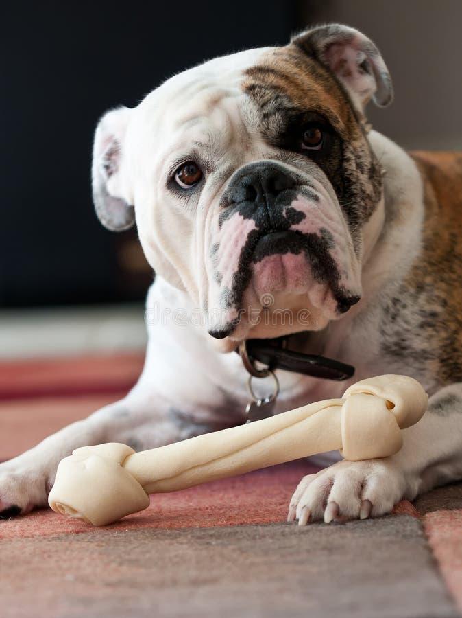 bulldoggengelska arkivfoto