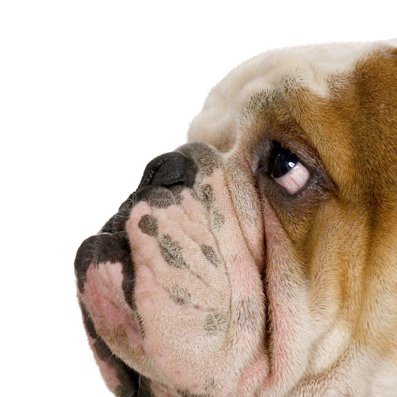 bulldoggengelska royaltyfria bilder