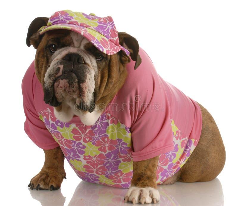 bulldoggengelskakvinnlig royaltyfri bild