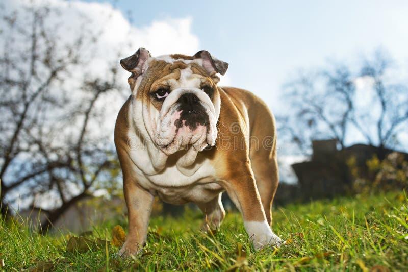 bulldoggengelskavalp royaltyfria bilder