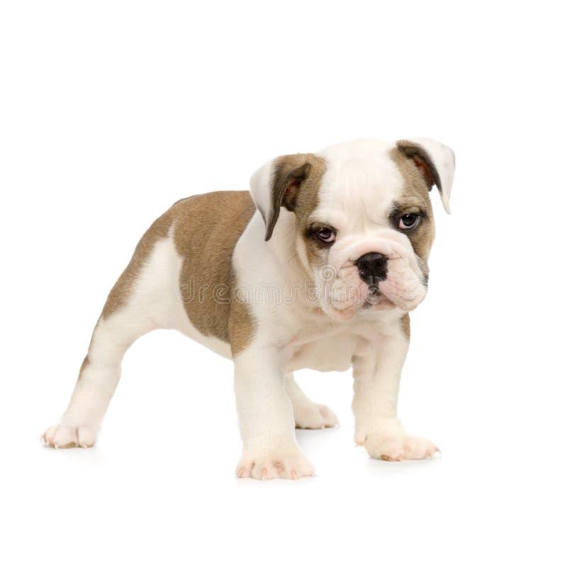 bulldoggengelskavalp royaltyfri fotografi