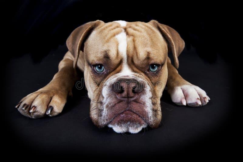Bulldoggenschwarzhintergrund Olde englischer stockbild