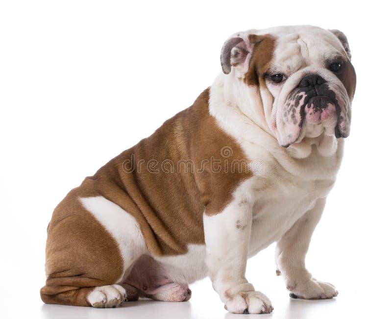 Bulldoggensitzen lizenzfreie stockfotos