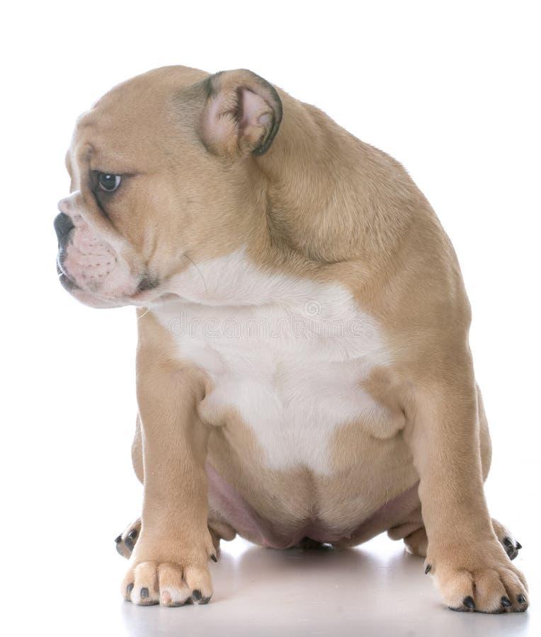 Bulldoggenwelpensitzen lizenzfreies stockfoto