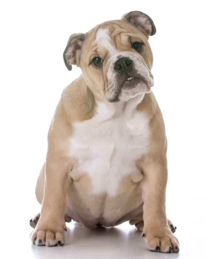 Bulldoggenwelpensitzen lizenzfreie stockfotos