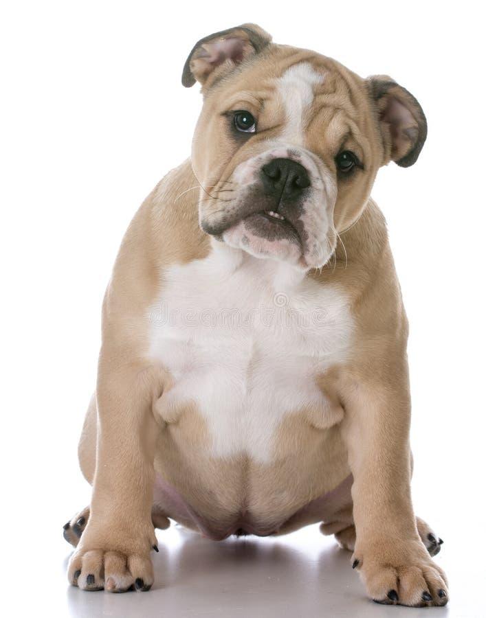 Bulldoggenwelpensitzen stockbild