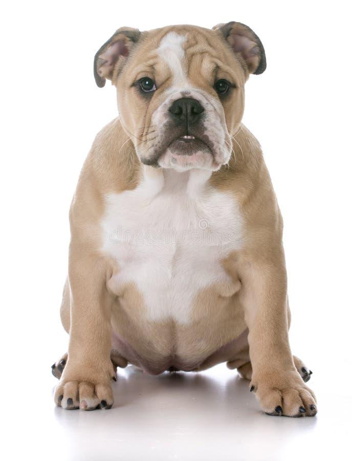 Bulldoggenwelpensitzen stockbilder