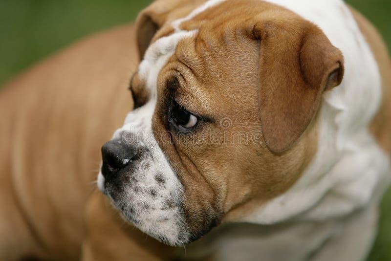 Bulldoggewelpe lizenzfreie stockfotografie