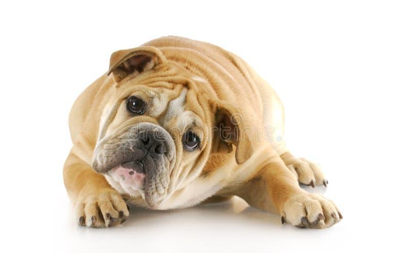 Bulldoggewelpenniederlegung lizenzfreies stockbild