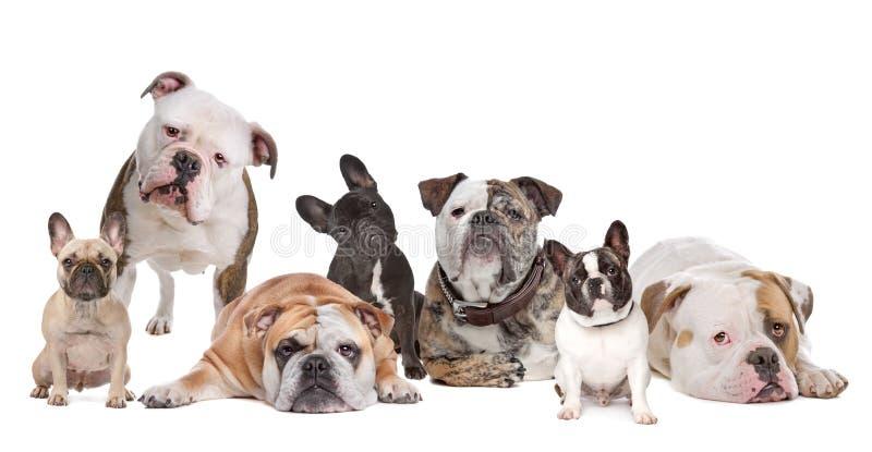 bulldoggfamilj royaltyfria foton