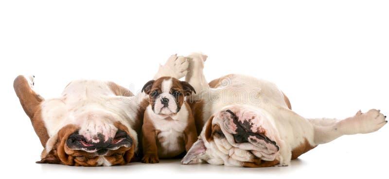 Bulldoggfamilj fotografering för bildbyråer