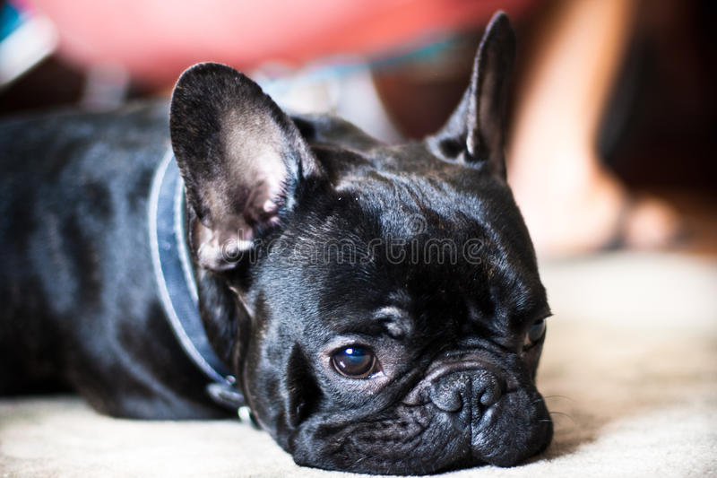 bulldoggfransman royaltyfri fotografi