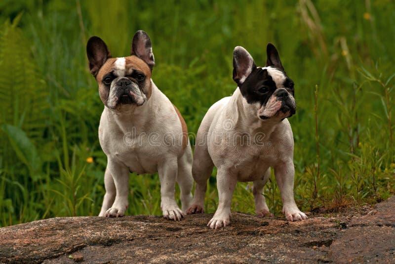 bulldoggfransman två royaltyfria bilder