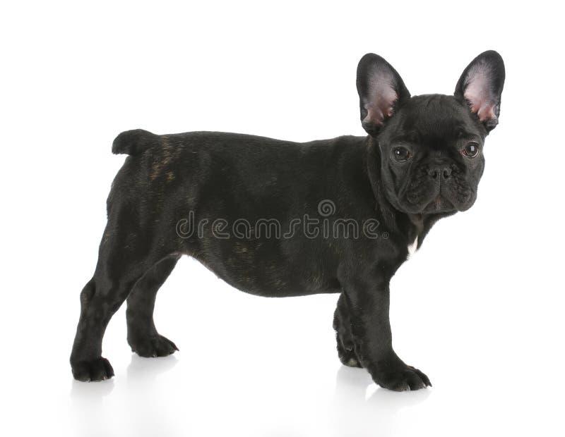 bulldoggfransmanstanding royaltyfri foto
