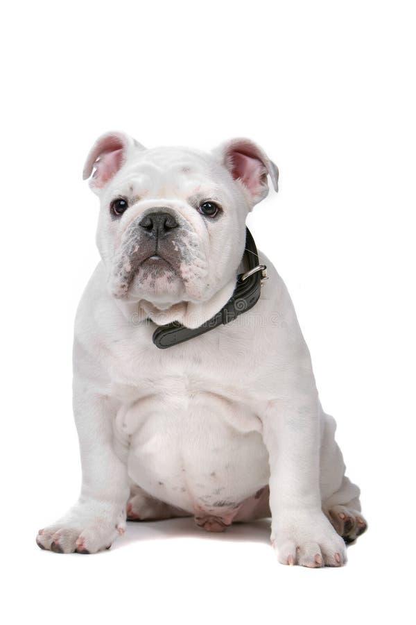 bulldoggfransmanvalp royaltyfri fotografi