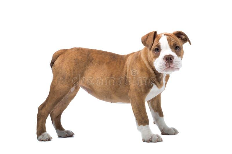 bulldogghundrenässans royaltyfri fotografi