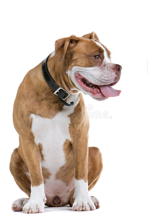 bulldogghundrenässans arkivfoton