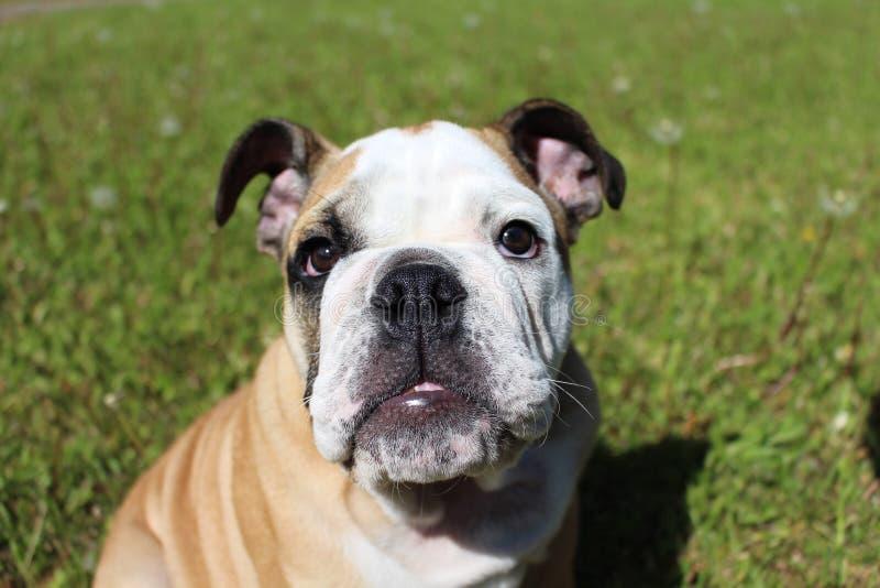 bulldogging arkivbild