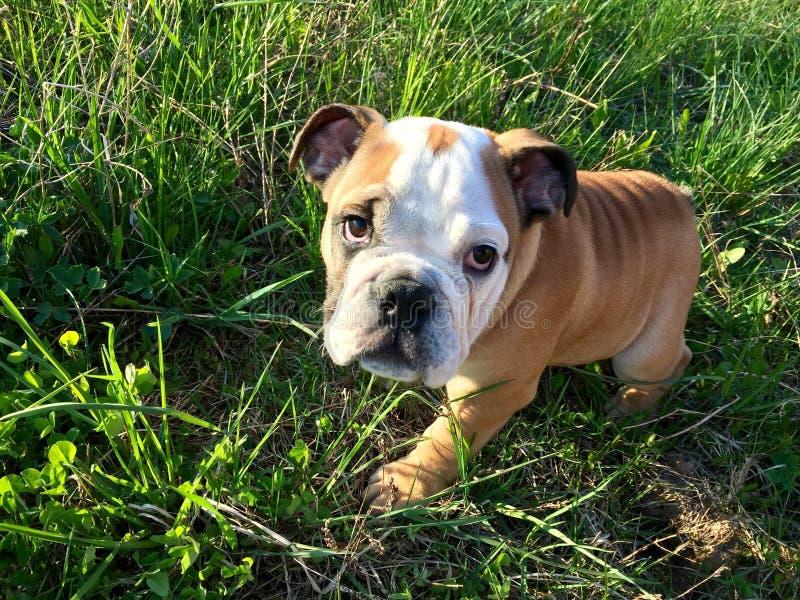 bulldogging fotografering för bildbyråer