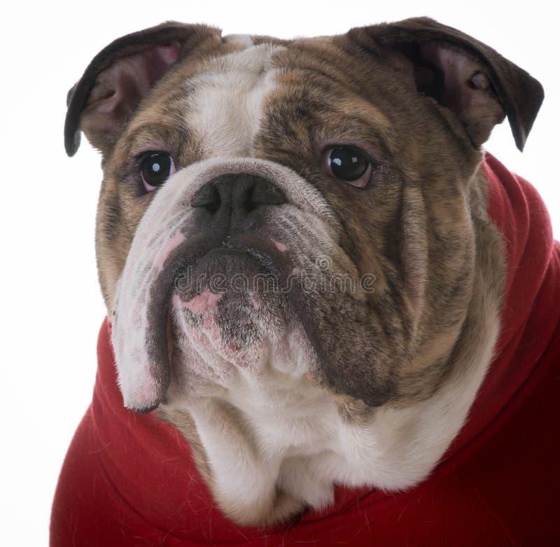 bulldogging royaltyfri bild
