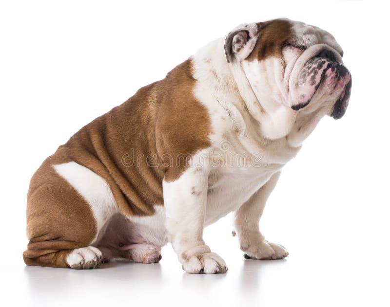 bulldogging royaltyfri fotografi