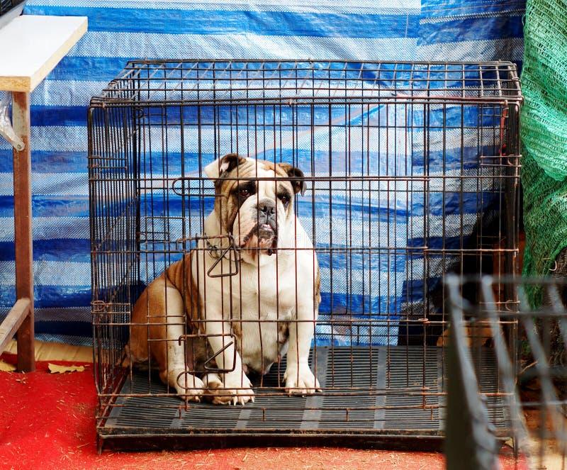 bulldogging royaltyfria bilder