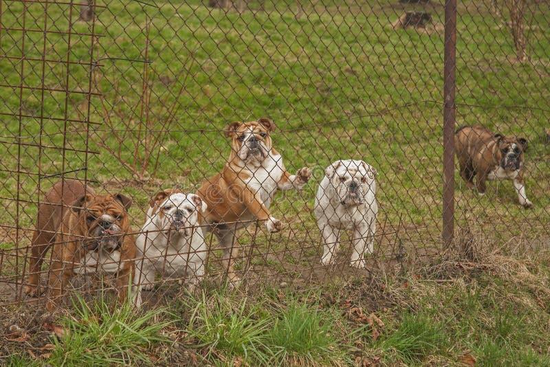 bulldogging royaltyfria foton