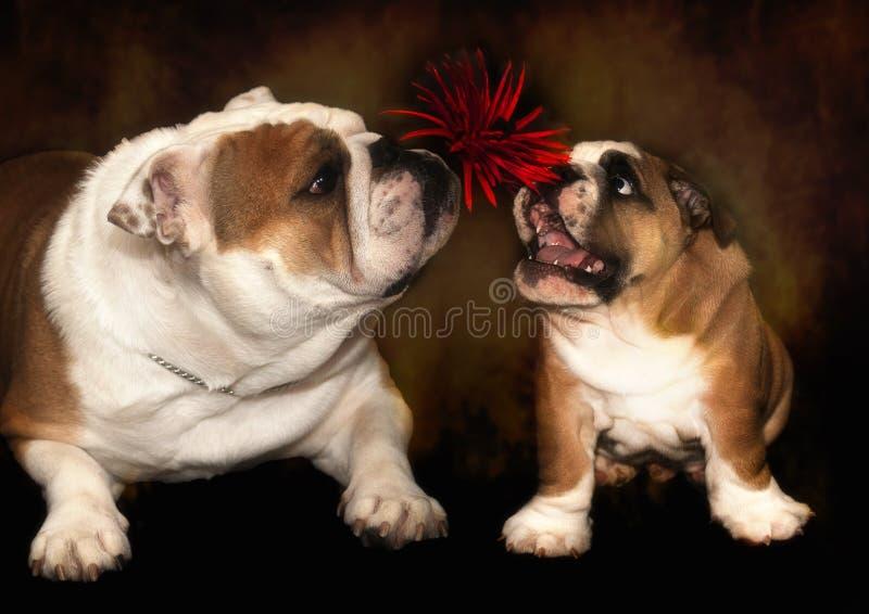 bulldogging royaltyfri foto