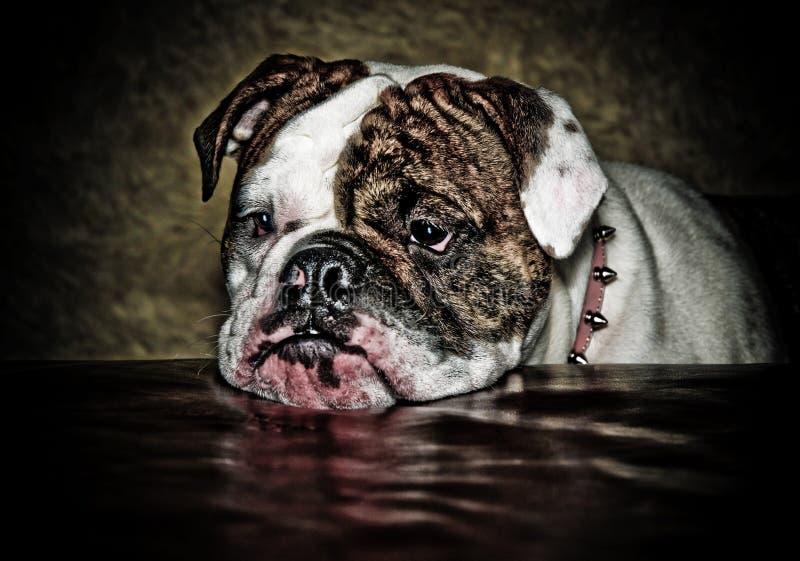 bulldogglillith royaltyfria foton