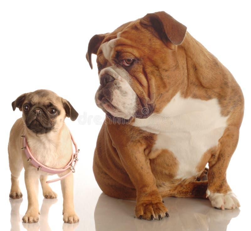 bulldoggmopsvalp royaltyfri bild