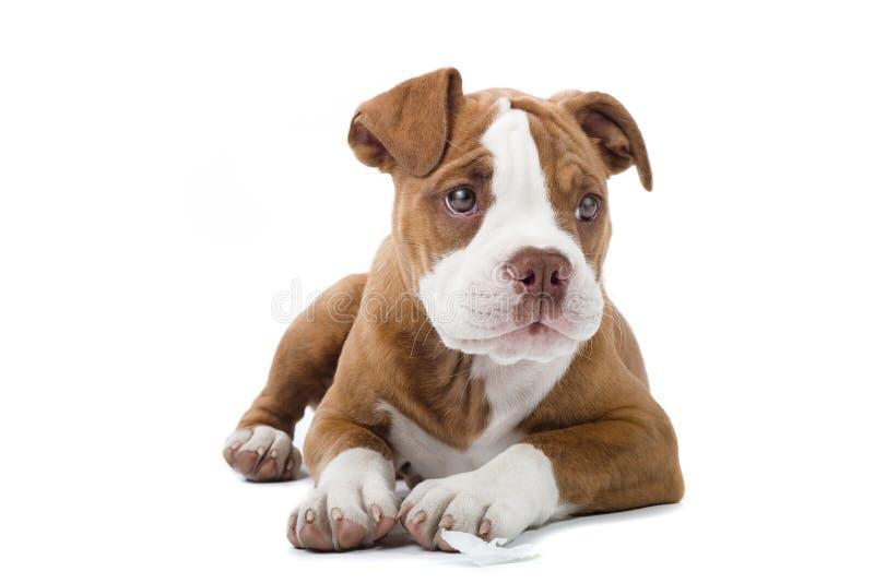 bulldoggrenässans royaltyfria foton
