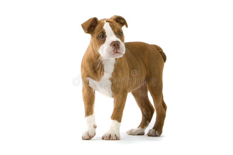 bulldoggrenässans arkivfoton
